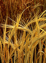Description: Description: Description: Description: Description: Description: Description: Description: Description: Description: Description: Description: Description: Description: Description: Description: Description: Description: Barley (Source: ARS Photo library)